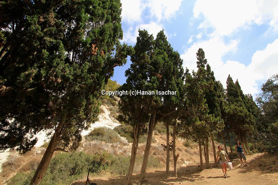 Israel, Mount Carmel, Cypress trees in Wadi Siach