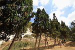 Israel, Mount Carmel, Cypress trees in Wadi Siach