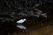 Snowy Egret in Ballona Creek, Marina Del Rey, Los Angeles, California, USA