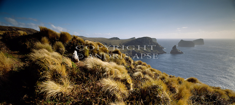 Wandering Albatross chick on nest at the Antipodes Islands. New Zealand Sub-Antarctic Islands.