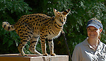 Serval at Living Desert Reserve