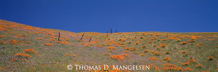 Old fence posts meander across a rolling hill that is blooming in poppies and wildflowers in the Tehachipi Mountains of California.