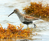 Adult dunlin in breeding plumage on beach at Bolivar Point, TX
