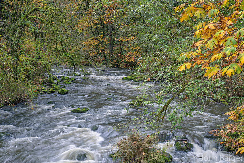 USA, Washington, Camas, Lacamas Park, Autumn colored bigleaf maple trees add color to forest bordering Lacamas Creek.