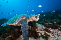 loggerhead sea turtle, Caretta caretta, Aliwal Shoal, off Umkomaas, KwaZulu-Natal, South Africa, Indian Ocean