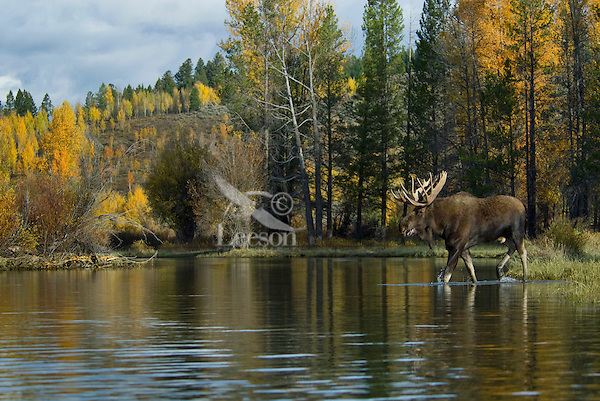 Bull Moose (Alces alces) calling (called grunting) cow moose, Western U.S., fall.