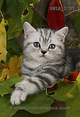 Carl, ANIMALS, photos(SWLA3731,#A#) Katzen, gatos