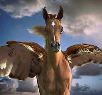 A close up winged Pegasus foal backed by dramatic clouds moves toward camera. Digital manipulation of photo. horses, equine, animals, mythology, fantasy. #444 HR FlagPegasus.