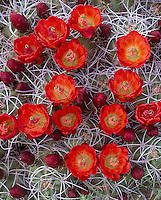 Joshua Tree National Monument, CA: Scarlet blossoms on a clump of Claret Cup Cactus (Echinocereus triglochidiatus)