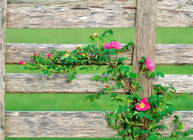 Wild rose (Rosa nukana) and old fence. Near Alpine, Oregon.