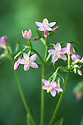 Common centaury (Centaurium erythraea), mid July.