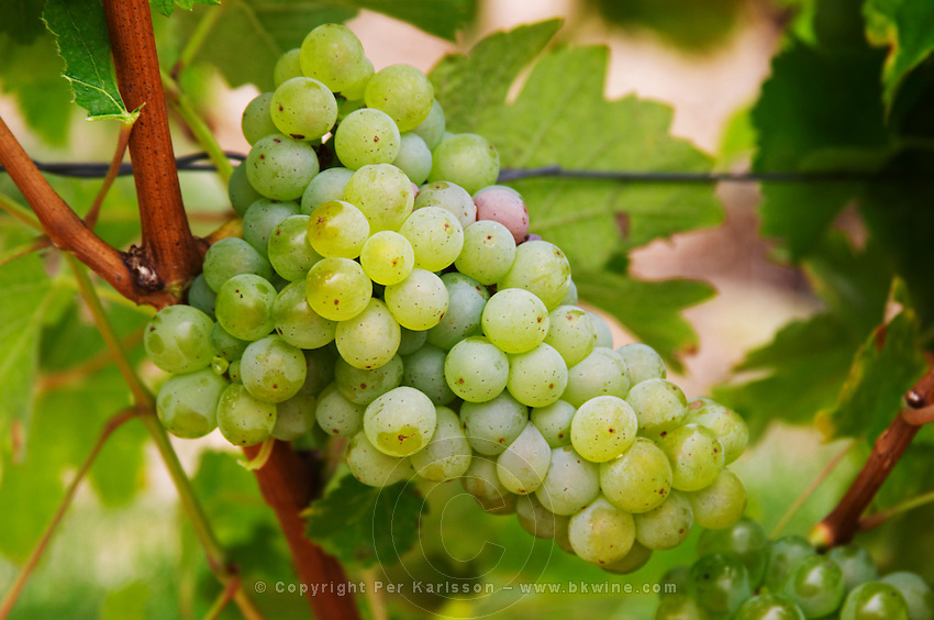 Bunches of ripe grapes. Sauvignon Blanc. Domaine de la Perriere, Sancerre, Loire, France