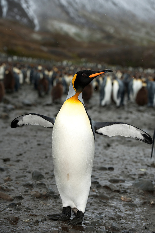 A King penguin (Aptenodytes patagonicus) in front of a large colony, Fortuna Bay, South Georgia
