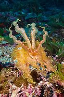 broadclub cuttlefish, Sepia latimanus, Marovo Lagoon, New Georgia Islands, Solomon Islands, Pacific Ocean