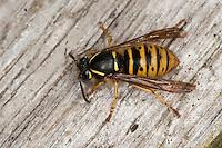 Sächsische Wespe, Weibchen sammelt Holz für ihren Nestbau, Kleine Hornisse, Dolichovespula saxonica, Vespula saxonica, Saxon wasp, Faltenwespen, Papierwespe, Papierwesen, Vespidae