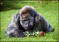 BNPS.co.uk (01202 558833)<br /> Pic: PhilYeomans/BNPS<br /> <br /> Nico, Longleat Safari Park's oldest and most famous resident, has sadly died aged (at least) 56 - the 180kgs western lowland silverback (Gorilla gorilla gorilla) is thought to have died peacefully in his sleep on sunday night.<br /> <br /> Nico was thought to be the second oldest gorilla in the world and in his long lifetime gorilla's have become critically endangered in the wild.  <br /> <br /> Despite his apparently grumpy expression, his devoted keepers at the Wiltshire safari park said Nico was actually extremely gentle and still very active in spite of his advancing years.