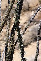 DESERT FLORA<br /> Thorns &amp; Leaves on Ocotillo<br /> Fouquieria splenders