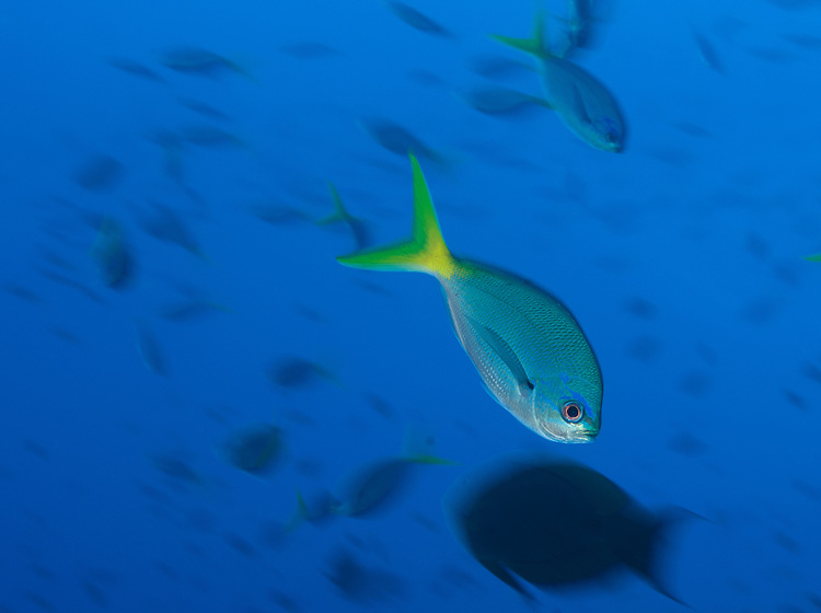 Yellowtail fusiler (Caesio cuning) in motion, South Emma Reef, Kimbe bay