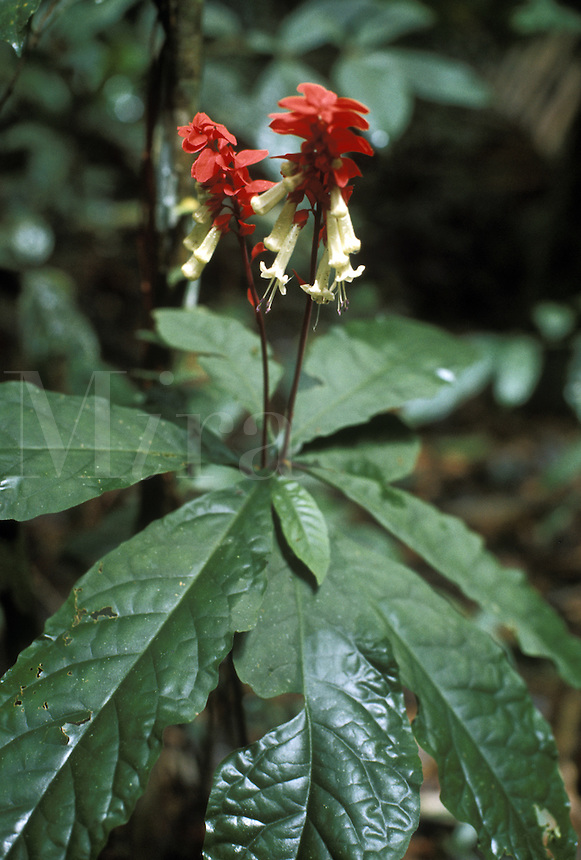 Amasonia campestris, family Verbenaceae in the undergrowth of the tropical rain forest of southern Venezuela.