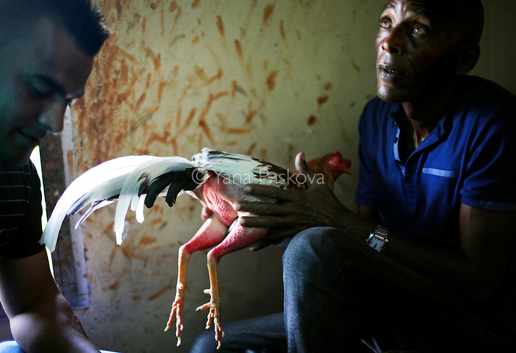 A chicken is groomed, and its nails sharpened and augmented with a long, sharp nail made of a turtle shell, before a cock-fighting event at a sports arena on April 18, 2015 in Managua, Cuba. Cock-fighting in Cuba is in the gray area of legal - state-run events such as this (non-private) functions are permitted, but not monetary betting. This is in part due to lingering bitterness over the control U.S. mafia used to exercise over casinos and prostitution in pre-revolutionary Cuba, the income from which allowed crime lords a certain level of interference in the country's political matters. <br /> <br /> Cuba, a place of much recent conversation, is a country whose politics and way of life parallel much of my childhood in Bulgaria. This is 2015's continuation to my project on democracy + communism, started last year on the 25th anniversary of the fall of the Berlin Wall - the event that gave opportunity to Eastern Europeans like me to immigrate to the Western world. These are the ways in which Cuba has transported me to pre- and post-1989 Bulgaria. This project is supported by a grant from The Pulitzer Center on Crisis Reporting.