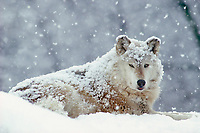 Gray Wolf (Canis lupus) in snowstorm.  Winter.  Western U.S.