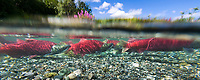 "Red salmon or ""sockeye"" in spawning phase (red body and green head) in a small stream in the Alaska mountains."