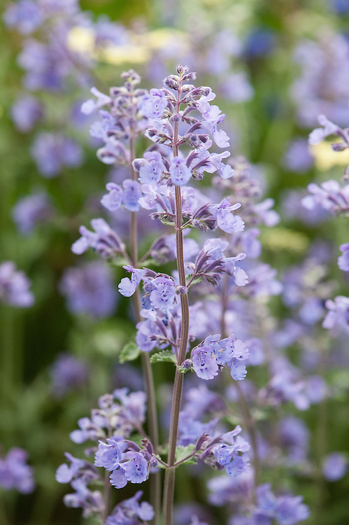 Nepeta racemosa 'Walker's Low', late May.