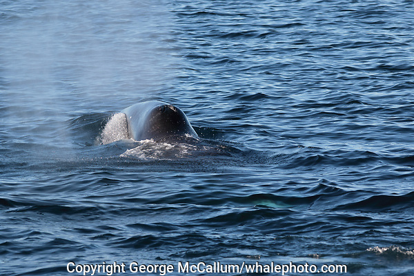 Bowhead whale,  Balaena mysticetus, Critically endangered Barents sea population. Barents sea / Arctic Ocean, Franz Josefs Land, Russia