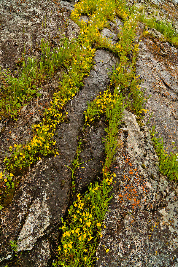 Little yellow monkey flowers and orange lichen cover this wet rock side.