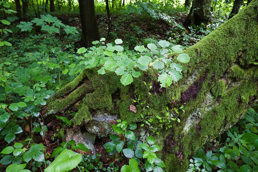 Mischwald, Morske Oko Reservat, Ost-Slowakei / Deciduous forest, Morske Oko Reserve, East Slovakia