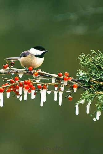 Blackcapped chickadee, Poecile atricapillus , perched on evergreen branch with red berries covered with ice