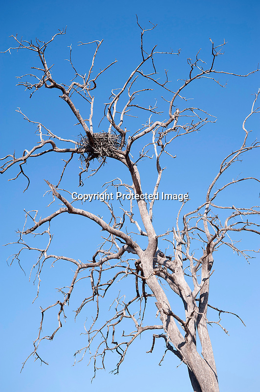 Empty Eagle Nest in Chobe National Park in Botswana in Africa