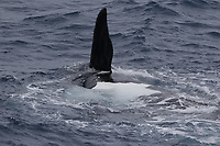 Southern Right whale Eubalaena australis,Female rolling on back to prevent male from Copulating, South Orkney islands, Scotia Sea, Southern Ocean, Antarctica