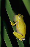 Green Treefrog, Hyla cinerea, male calling at night, Welder Wildlife Refuge, Sinton, Texas, USA, May 2005