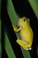 Green Treefrog, Hyla cinerea, male calling at night, Welder Wildlife Refuge, Sinton, Texas, USA, May 2005