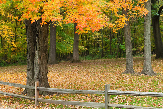 A Maple tree stands behind a fence in fall season at Ryerson Woods Conservation Area in Lake County, Illlinois