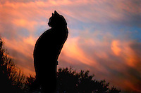"A cat ""looking back"" in silhouette"