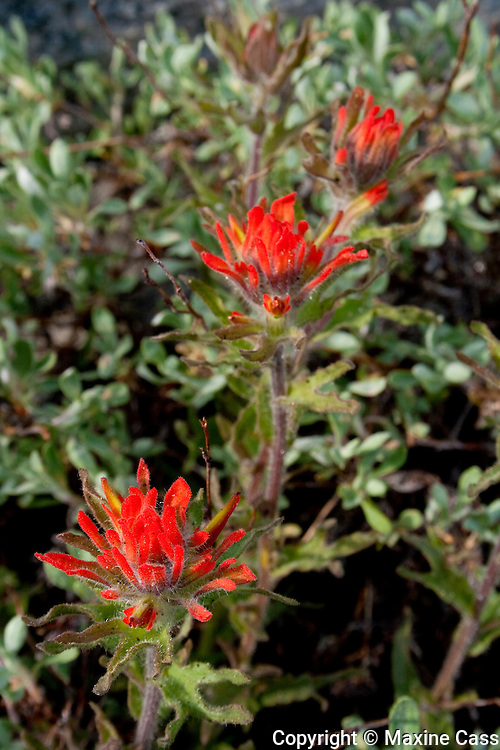 Yosemite National Park high country wildflowers--Applegate's Paintbrush (Castilleja applegatei)--along Tioga Pass Road (Highway 120), California, United States of America