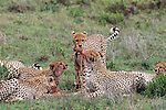 Cheetahs feed on a carcass together in the Serengeti............................................................................................................................................................................................................................................................................................................................................................................................................................................................................................................................................................................................................................................................................................................................................................................................