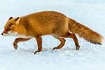 Japan, Hokkaido, red fox (Vulpes vulpes)