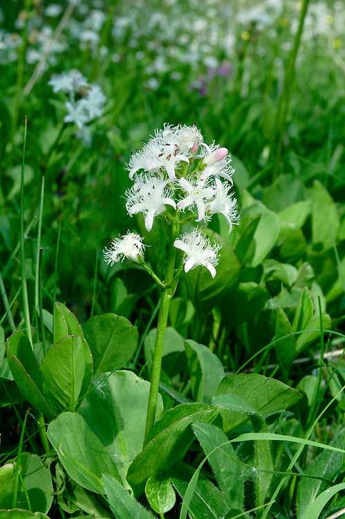 BOGBEAN Menyanthes trifoliata (Menyanthaceae) Height to 15cm. Distinctive, creeping aquatic perennial that is found in shallow water as well as damp peaty soil in marshes, fens and bogs. FLOWERS are 15mm across, star-shaped, pinkish white with 5, fringed petal lobes; borne in spikes up to 25cm long (Mar-Jun). FRUITS are capsules. LEAVES are trifoliate; emergent ones have the texture and appearance of Broad Bean leaves. STATUS-Widespread and locally common throughout.