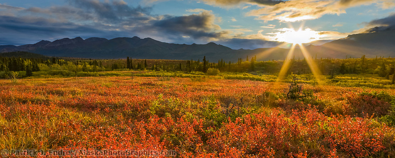 The morning sun rises over the Alaska Range mountains, lighting the crimson dwarf birch tundra, Denali National Park, Interior, Alaska.