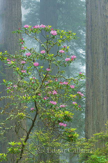 Rhododendron Bloom, Rhododendron macrophyllum, Coastal Fog, Damnation Creek, Del Norte Redwoods State Park, Redwood National and State Parks, California