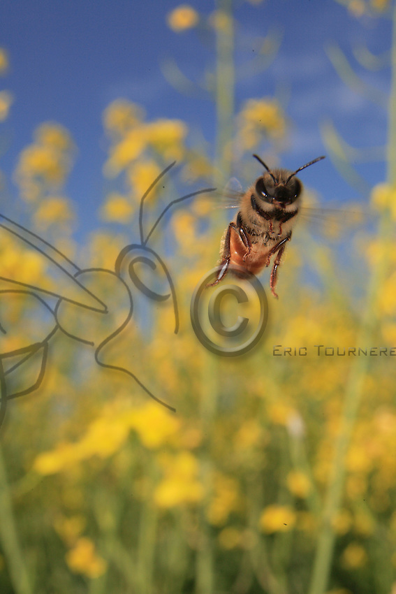 Flying bee on a rapeseed field.