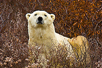 A male polar bear in vegetation on the tundra along the edge of Hudson Bay, near Churchill, Manitoba, Canada