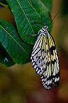Paper Kite, also called Rice Paper, Paper White or Large Tree Nymph, hangs gracefully from a green leaf against a multi-colored gold and burgandy background.