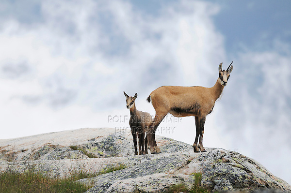 Chamois (Rupicapra rupicapra), female with young, Grimsel, Bern, Switzerland, Europe