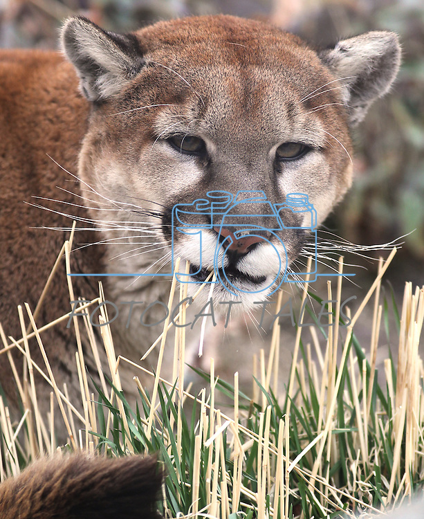 Milo, a 4-year-old mountain lion, eats grass in his enclosure at the Animal Ark in Reno, Nev., on Friday, March 30, 2012. The wildlife sanctuary opens for its 31st season on Saturday..Photo by Cathleen Allison