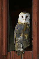 Barn Owl (tyto alba) looking back from an old barn window near Denver, Colorado, USA