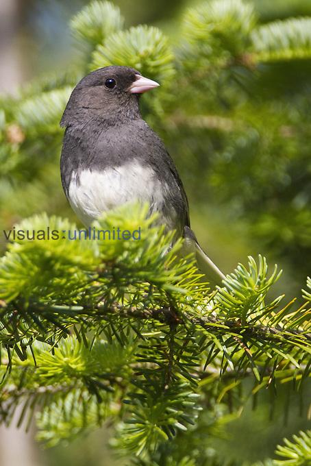 Dark-eyed Junco (Junco hyemalis), New Hampshire, USA